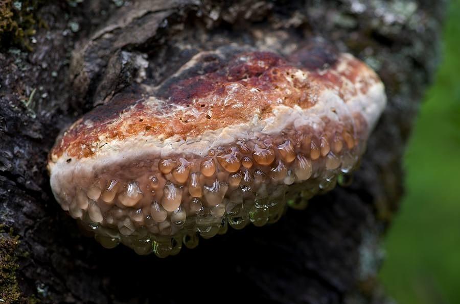 Troudnatec pásovaný (Fomitopsis pinicola)180610 0234