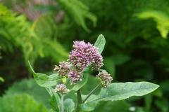 Havez česnáčková (Adenostyles alliariae )180610 0188