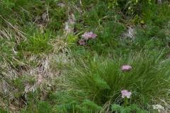 Koprníček bezobalný (Ligusticum mutellina)180610 0086