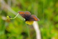 Okáč menší (Erebia sudetica)180610 0112