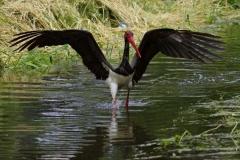 Čáp černý - Ciconia nigra 201405289536