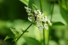 Rutpela maculata 180531 9229