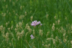 Rerisnice lucni (Cardamine  pratensis)180502 6361