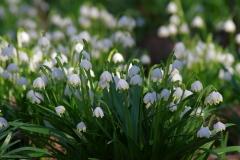 Bledule jarní (Leucojum vernum)180402 4593