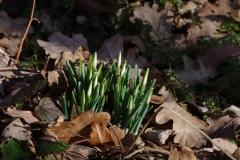 Sněženka podsněžník (Galanthus nivalis)190215 3087