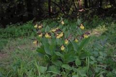 Střevíčník pantoflíček (Cypripedium calceolus)180512 7603