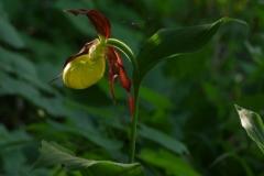 Střevíčník pantoflíček (Cypripedium calceolus)180512 7611
