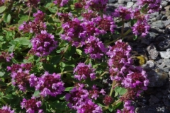 Mateřídouška-vejčitá-neboli-mateřídouška-polejová-Thymus-pulegioides-L.190703-7354a