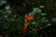 Jestřábník-oranžový-Hieracium-aurantiacum190703-7428