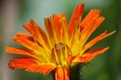 Jestřábník-oranžový-Hieracium-aurantiacum190703-7430