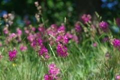 Smolnička obecná (Lychnis viscaria)180506 6793