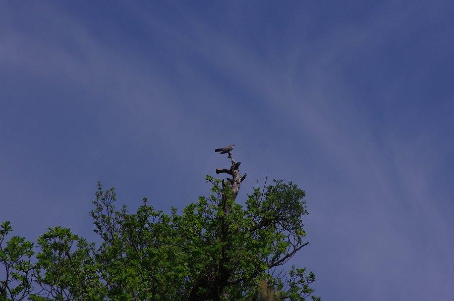 Kukačka obecná (Cuculus canorus)180508 7083