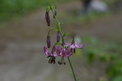 Lilie zlatohlavá (Lilium martagon)170630 5606