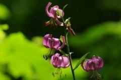 Lilie zlatohlavá (Lilium martagon)180531 9242