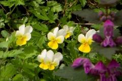 Violka-trojbarevná-skalní-Viola-tricolor-subsp.-saxatilis180415-5396