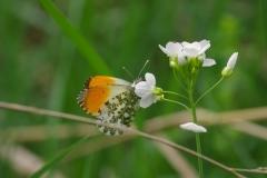 Bělásek řeřichový (Anthocharis cardamines) 180502 6289