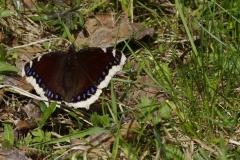 Babočka osiková (Nymphalis antiopa) 160506 9118