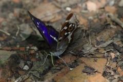 Batolec duhový ( Apatura iris)150703 5899 Luhačovice 6872 - kopie