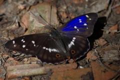 Batolec duhový ( Apatura iris)150703 5944 Luhačovice 6872 - kopie
