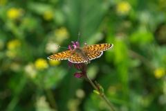 Hnědásek kostkovaný (Melitaea cinxia)180520 8405