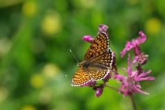 Hnědásek kostkovaný( Melitaea cinxia)180520 8411