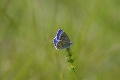 Modrásek jetelový(Polyommatus bellargus) Brno Stránská skála 160606 0806