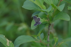 Modrásek nejmenší (Cupido minimus)180510 7289