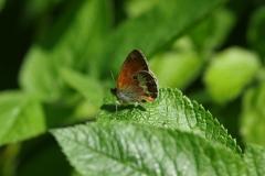 Okáč srdivkový (Coenonnympha arcania)180531 9215