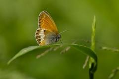Okáč strdivkový - Coenonympha arcaniaOkáč strdivkový (Coenonympha arcania)160605 0631 Vyškov