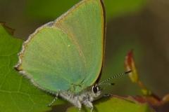 Ostruháček ostružinový (Callophrys rubi) 160519 0011
