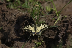 Otakárek fenyklový - Papilio machaon Linnaeus 1504241496