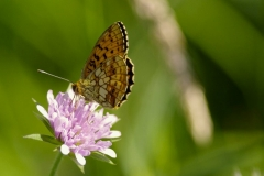 Perleťovec kopřivový (Brenthis ino)160618 2089 - kopie