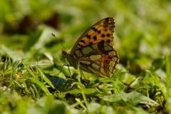 Perleťovec malý (Issoria lathonia) 160826 9945, čtverec 6767 - kopie