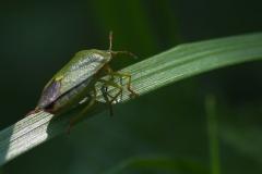 Knezice zelena (Palomena v iridissima)170528 1555