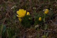 Hlaváček jarní (Adonis vernalis)190403 2172
