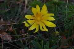 Hlaváček jarní (Adonis vernalis)190403 2190
