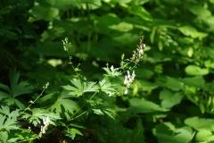 Oměj vlčí mor (Aconitum lycoctonum)180531 9312