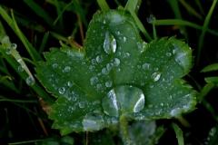 Kontryhel-obecný-Alchemilla-vulgaris201010-5152