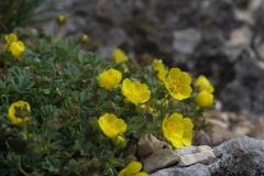 Mochna písečná (Potentilla arenaria)180415 5352