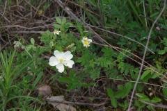 Růže bedrníkolistá (Rosa pimpinellifolia)180510 7256