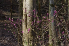Lýkovec jedovatý (Daphne mezereum)180402 4579