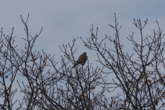 Poštolka obecná (Falco tinnunculus) 170218 7705