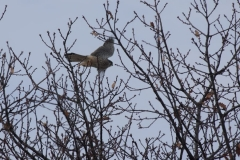 Poštolka obecná (Falco tinnunculus) 170218 7706