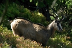 Kamzík-horský-Rupicapra-rupicapra200913-3294a-