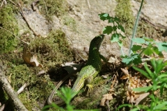 Ještěrka zelená (Lacerta viridis)180506 6911