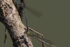 Šidélko-brvonohé-Platycnemis-pennipes150704-6288-Luhačovice