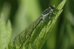 Ischnura-elegans-Šidélko-větší-1505122022-Vyškov