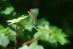 Motýlice obecná (Calopteryx virgo)180506 6691