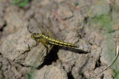 Vážka černořitná (Orthetrum cancellatum) 180508 7060