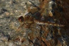 Vážka-žíhaná-Sympetrum-striolatum1409192003